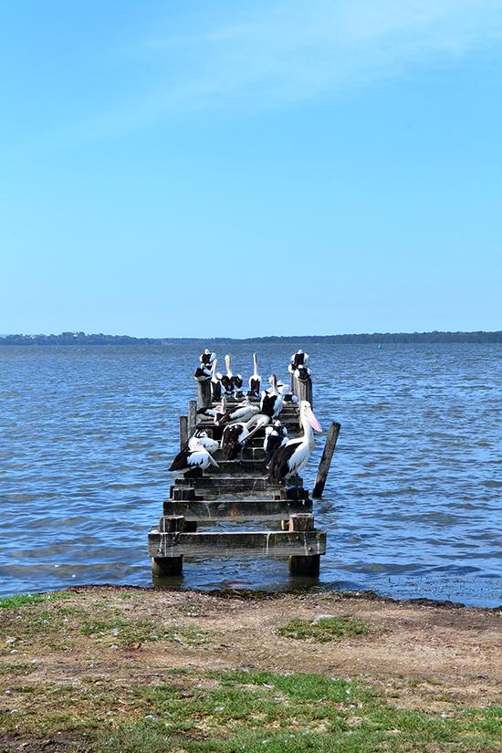 Central Coast Pelicans