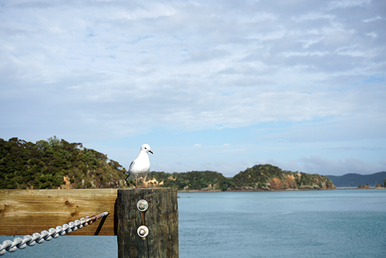 Bay of Islands Seagull