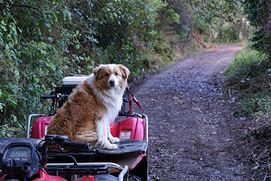 Dog Quad Biking, Happy Valley, Nelson