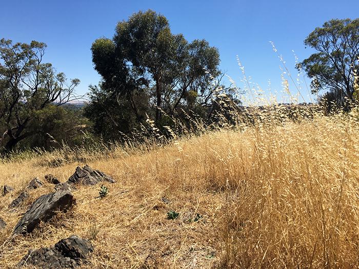 Golden grass in the Barossa