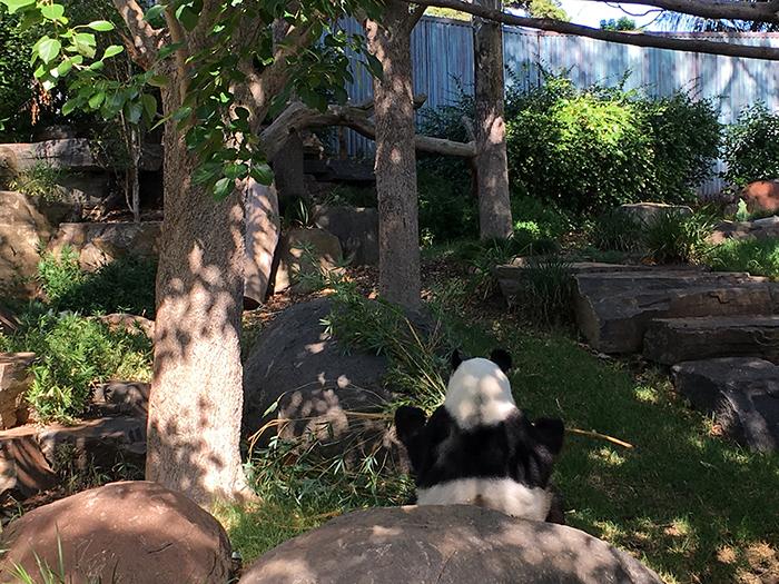 Panda Experience at Adelaide Zoo