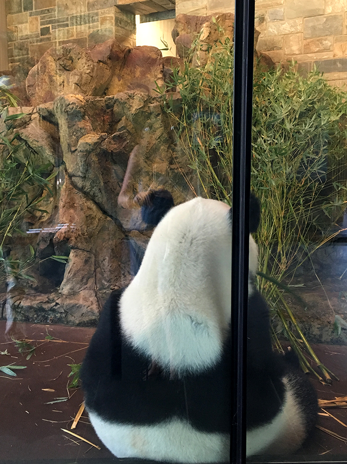 Panda Experience at Adelaide Zoo